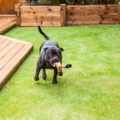 Artificial Grass Dog